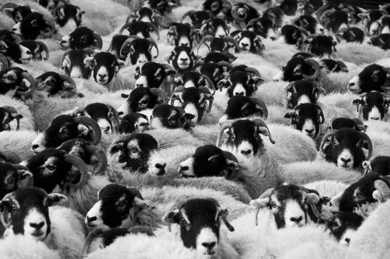 sheep-17482_1280 (2).jpg